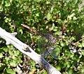 Female Violet Dropwing (Trithemis annulata) - Flickr - gailhampshire (1).jpg