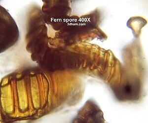 Spore - Image: Fernspore 1