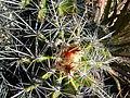 Ferocactus flavovirens (5753701999).jpg