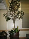 Ficus binnendijkii 'Alii' (LSB, BYU).jpg