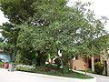 Ficus lutea 0008.jpg