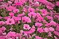 Field of Pink Petunia.jpg