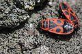 Firebug - Pyrrhocoris apterus (26071107956).jpg
