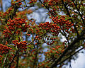 Firethorn Pyracantha tree berries Rhodes Arts Complex Museum Theatre Bishop's Stortford Hertfordshire England.jpg