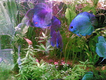 English: Discus fish. Aquarium in dehiwala zoo