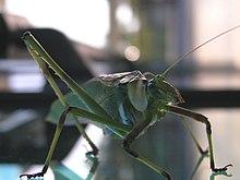 Five legged grasshopper2.jpg