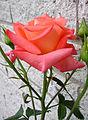 Flickr - Per Ola Wiberg ~ mostly away - A pretty rose.jpg