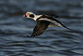 Flickr - Rainbirder - Long-tailed Duck (Clangula hyemalis).jpg