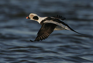 A drake Long-tailed Duck in flight. Image take...