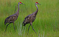 Flickr - Rainbirder - Sandhill Crane (Grus canadensis) pair in the rain.jpg