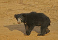 Flickr - Rainbirder - Sloth Bear.jpg