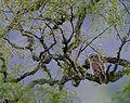 Flickr - Rainbirder - Tawny Owl (Strix aluco) recently fledged (1).jpg