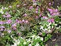 Flickr - brewbooks - Erythronium denis-canis at Streissguth Gardens - Seattle (1).jpg