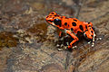 Flickr - ggallice - Strawberry dart frog.jpg
