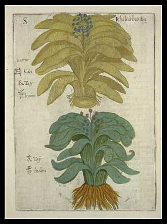 Chinese herbology - Chinese rhubarb depicted by Michał Boym (1655)