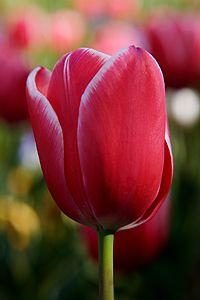A Tulipn Sznes Lepellevelei