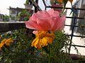 Flower found at Shivapuri National Park 03.jpg