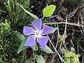 Flower of Vinca major 20190412.jpg