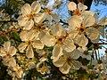 Flowering Cherry Tree - Flickr - aleksei86photo.jpg