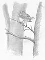 Fluiter Phylloscopus sibilatrix Jos Zwarts 4.tif
