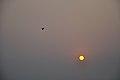 Flying Egret & Equinox Sun - Kolkata 2012-03-20 9326.JPG