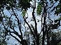 Flying foxes - Wat Pho Bangkla - panoramio.jpg