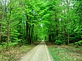 Forest path in spring - Flickr - Stiller Beobachter.jpg