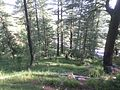 Forests in murree.jpg