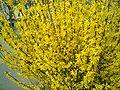 Forsythia monza marzo-01.jpg