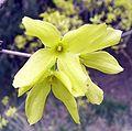 Forsythia viridissima-beijing zoo.JPG
