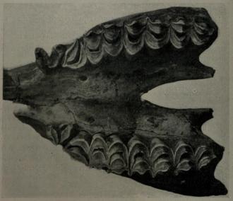 Hemiauchenia - Fossil maxilla of Hemiauchenia cf. paradoxa