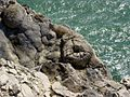 Fossilised tree stumps near Lulworth Cove - geograph.org.uk - 15.jpg