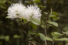 Fothergilla major (Witch alder).JPG