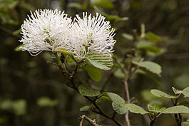 Fothergilla major}}