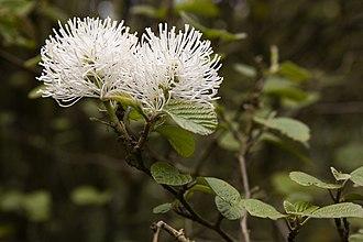 Hamamelidaceae - Flowers of Fothergilla major (Witch alder)
