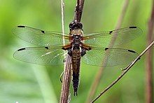 Four-spotted chaser (Libellula quadrimaculata) female P2.jpg