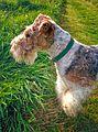 Fox-Terrier à Poil Dur.jpg