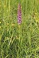Fragrant orchid - Gymnadenia conopsea - panoramio (2).jpg