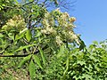 Fraxinus ornus kz02.jpg
