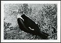 Fregata minor (Great Frigatebird) 120 days old, on Christmas Island (Kiritimati), Kiribati, 1967. (9392658033).jpg