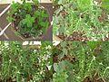 Fresh mentha,oregano and rosemary on my balcony.JPG