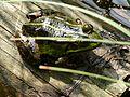 Frosch im Haardsee.jpg