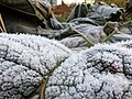 Frosty foreground (10986239613).jpg