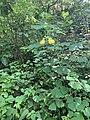 Fuchsia amarilla.jpg