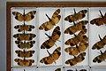 Fulgoridae Drawers - 5036098553.jpg