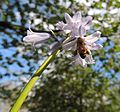 Fully-laden honeybee under a bluebell, Gordon Square, London (13783608355).jpg