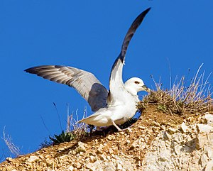Fulmar - Image: Fulmarus glacialis on cliff