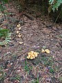 Fungi on the Forest Floor - geograph.org.uk - 239199.jpg