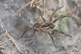 Funnel Web Wolf Spider - Sosippus, possibly floridanus?, Lake June-in-Winter Scrub State Park, Lake Placid, Florida.jpg