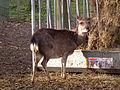 Futterraufe Sika 2015 Tierpark Walldorf.JPG